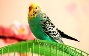 Budgerigar Widescreen