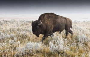 Buffalo For Desktop