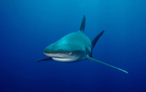 Bull Shark Background