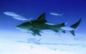 Bull Shark HD Wallpaper