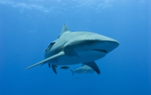 Bull Shark High Definition Wallpapers