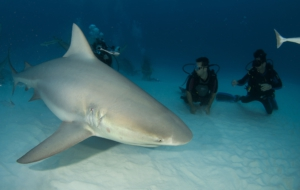 Bull Shark High Quality Wallpapers