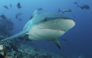 Bull Shark Wallpapers