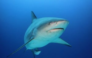 Bull Shark Wallpapers HD