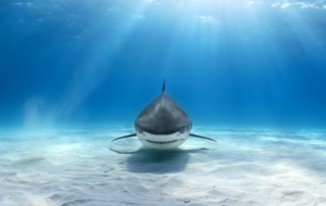 Bull Shark Widescreen