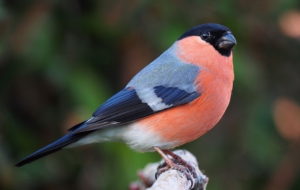 Bullfinch Background