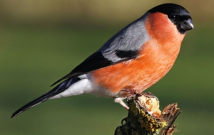 Bullfinch HD