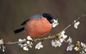 Bullfinch HD Background