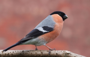 Bullfinch HD Desktop
