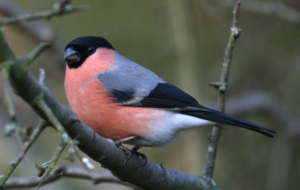 Bullfinch HD Wallpaper