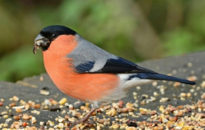 Bullfinch High Definition Wallpapers