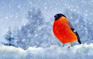 Bullfinch Photos