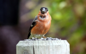 Bullfinch Pictures