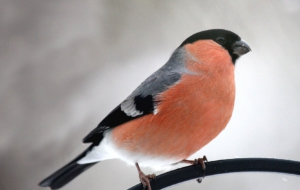 Bullfinch Wallpapers HD