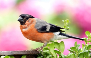 Bullfinch Widescreen