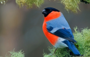 Bullfinch For Desktop
