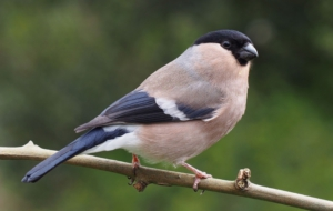 Bullfinch Full HD