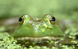 Bullfrog Background