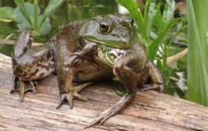 Bullfrog HD Wallpaper