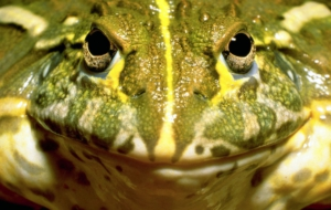 Bullfrog Wallpaper