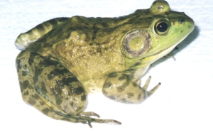 Bullfrog Wallpapers