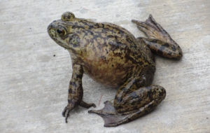 Bullfrog Wallpapers HD