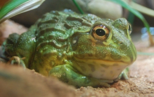 Bullfrog Full HD