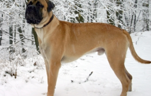Bullmastiff Computer Backgrounds