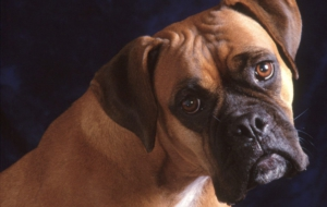 Bullmastiff High Definition