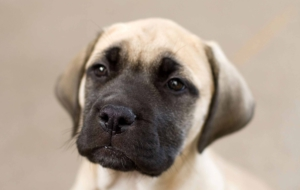 Bullmastiff Full HD