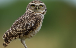 Burrowing Owl 4K