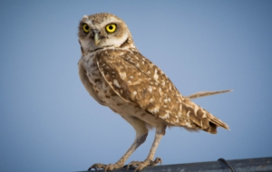 Burrowing Owl Background