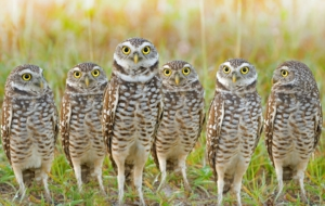 Burrowing Owl Desktop