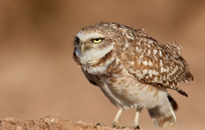 Burrowing Owl Desktop Wallpaper