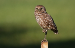 Burrowing Owl HD