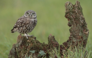 Burrowing Owl HD Background