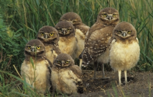 Burrowing Owl HD Desktop