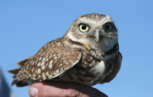 Burrowing Owl HD Wallpaper