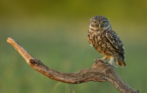 Burrowing Owl For Desktop