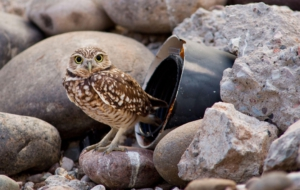 Burrowing Owl For Desktop Background