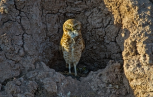 Burrowing Owl Full HD