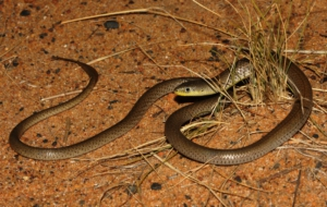 Burton's Legless Lizard HD