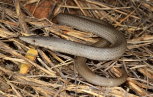 Burton's Legless Lizard HD Desktop