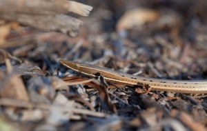 Burton's Legless Lizard High Definition