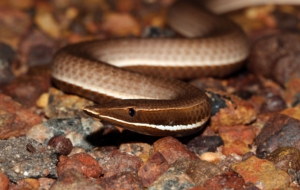 Burton's Legless Lizard For Desktop