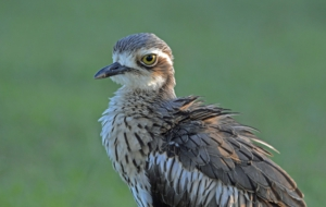 Bush Stone Curlew Background