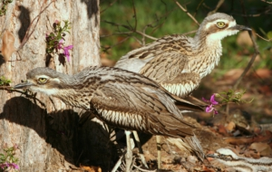 Bush Stone Curlew Computer Wallpaper
