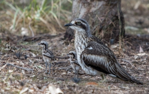 Bush Stone Curlew HD Background