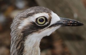 Bush Stone Curlew HD Desktop