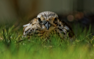 Bush Stone Curlew High Quality Wallpapers